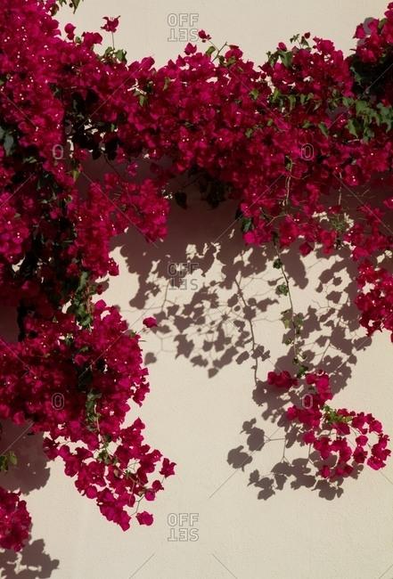 Wall of overgrown flower vines