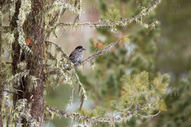 The spotted nutcracker, Nucifraga caryocatactes, in wintry forest
