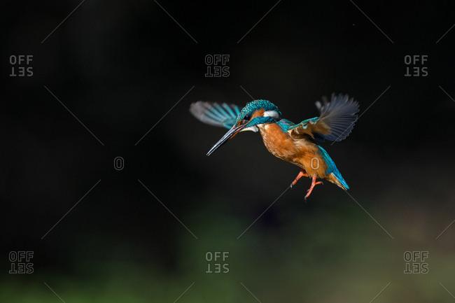 Alcedo atthis, Common Kingfisher (male) fishing