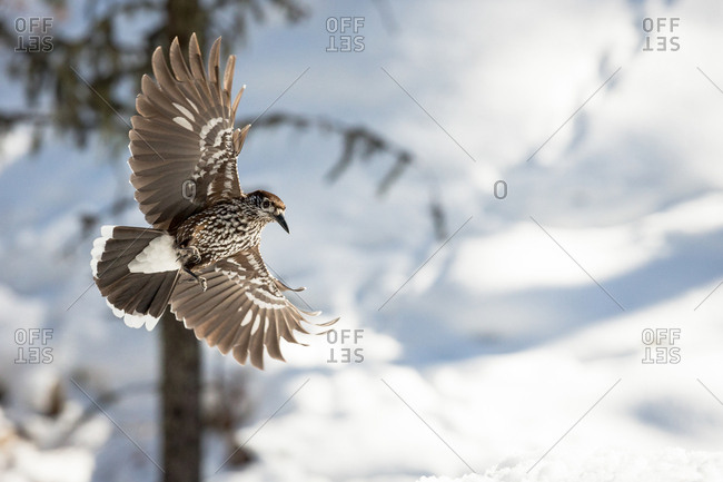 The Spotted nutcracker (Nucifraga caryocatactes) flies in the winter forest