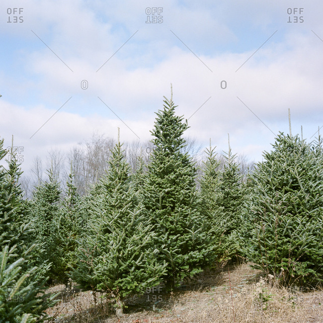 Evergreen trees growing at Christmas tree farm