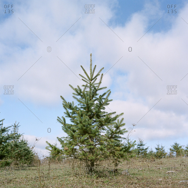 Small solitary evergreen tree growing at Christmas tree farm