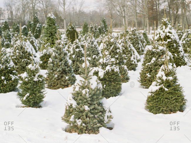 Small snow-covered trees at Christmas tree farm