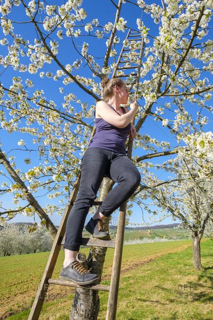 Woman on ladder on blossoming cherry tree, Eggenertal Valley, Schliengen, Baden-Wurttemberg, Germany