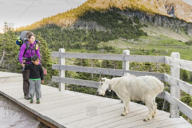 Family watching mountain goat (Oreamnos americanus) on Hidden Lake trail, Glacier National Park, Montana, USA