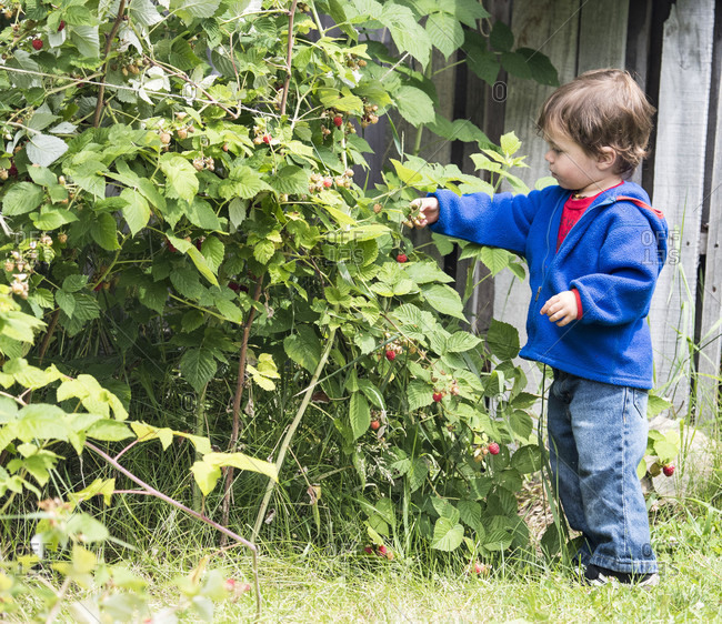 Young boy picking wild raspberries in Glacier National Park, Montana, USA