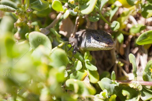 Blue-tongued skink (Tiliqua) among plants, Perth, Western Australia, Australia