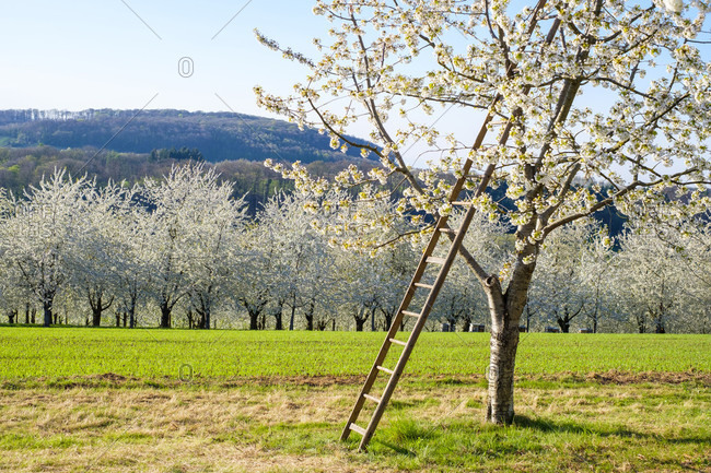 Ladder on blossoming cherry tree in spring, Eggenertal Valley, Schliengen, Baden-Wurttemberg, Germany