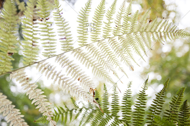 Ostrich Fern seen from below