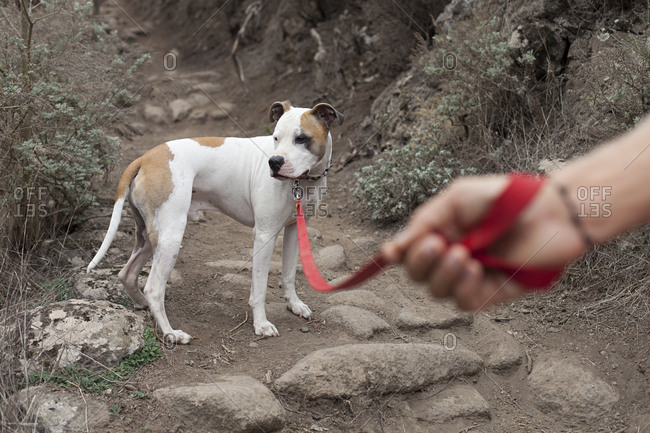 Hand holding pit bull dog in red leash