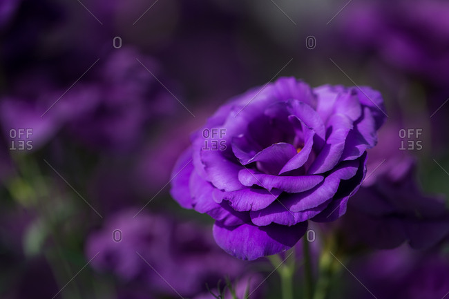 Purple prairie gentian flower