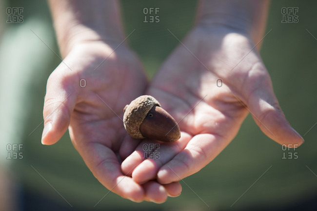 Hands of unrecognizable person holding acorn in nature.