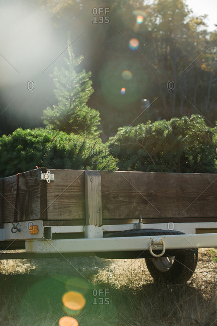 Trailer of car with sawn off fir trees in sunny forest.
