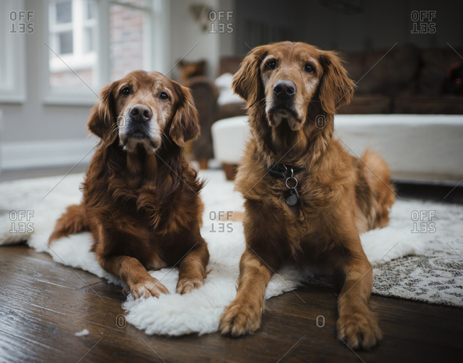 Golden retrievers sitting on rug in living room at home