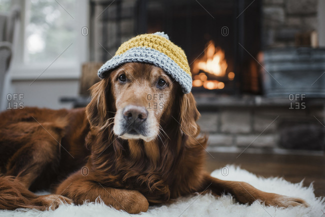 Close-up of golden retriever with knit hat lying relaxing on rug