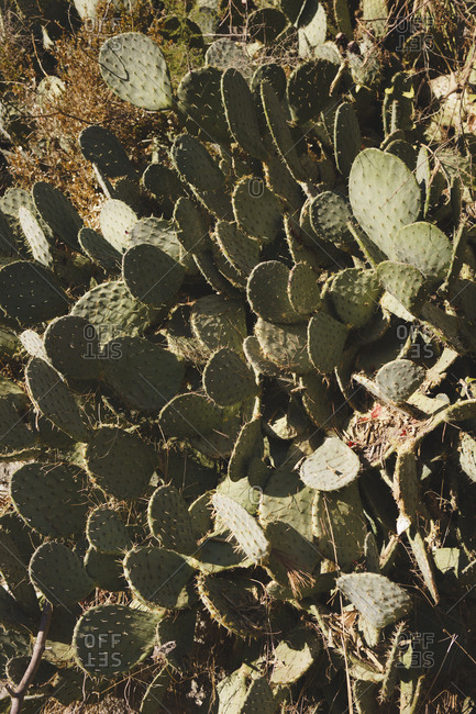 Tilt shot of prickly pear cactus plants, Elbsandstein Mountains, Germany