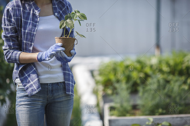 Young woman planting strawberry plant in garden
