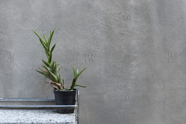 Cactus plant against grey wall