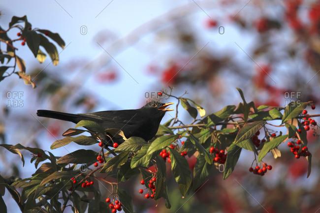Blackbird in winter - Offset Collection