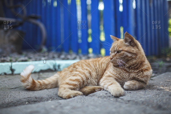 Russia- ginger cat lying