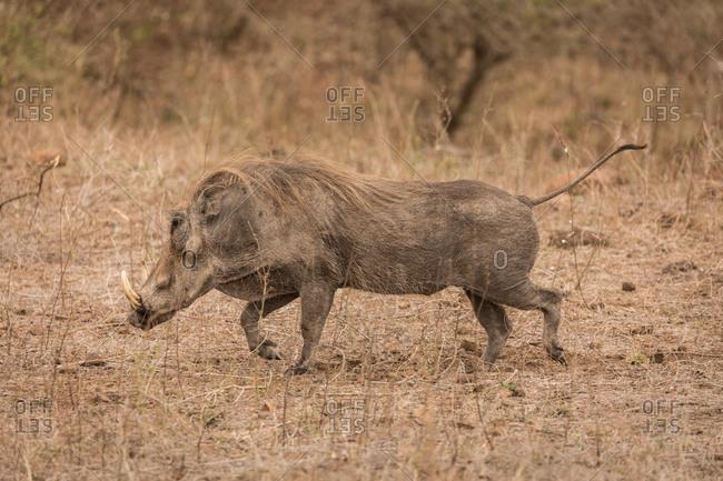 Wild boar running in safari park on a sunny day