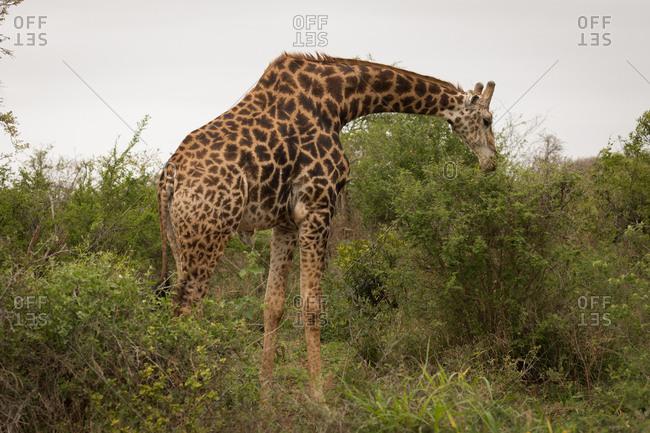 Giraffe in safari park on a sunny day
