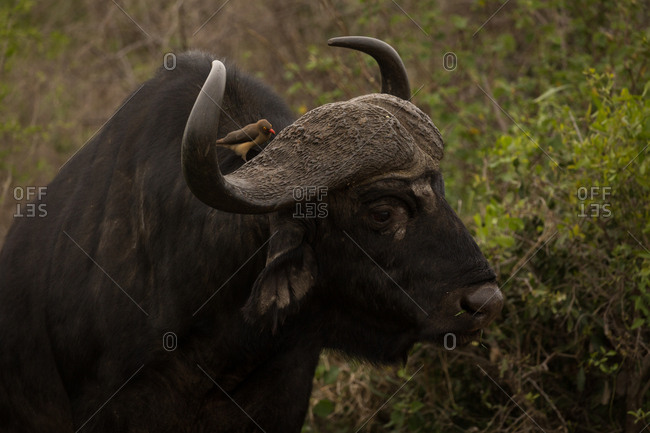 Close-up of wild buffalo in safari park on a sunny day