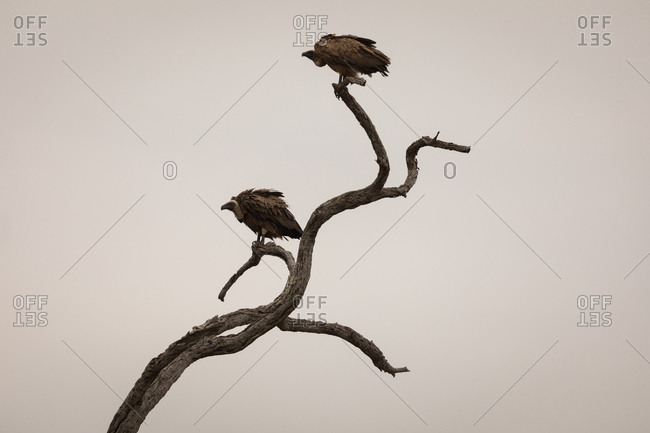 Vulture perching on tree against sky