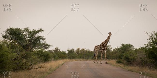Giraffe on road in safari park