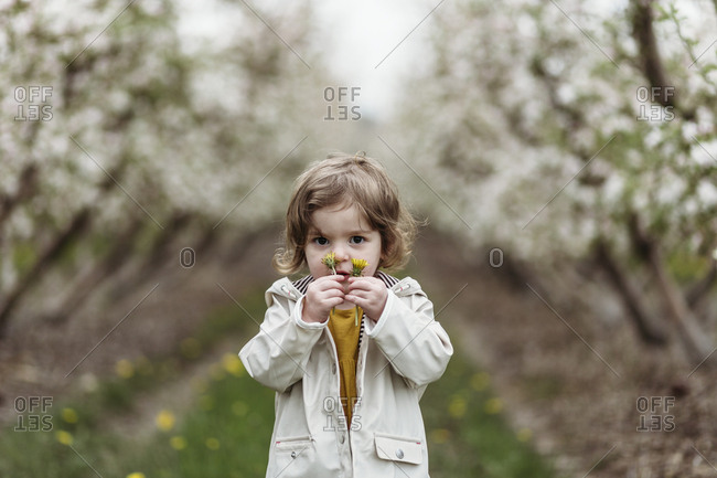 Little girl holding dandelions in front of her face