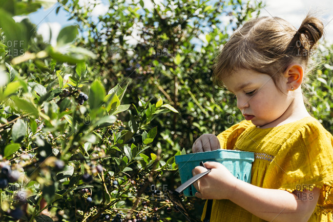 Young girl picking blueberries and placing them in her punnet