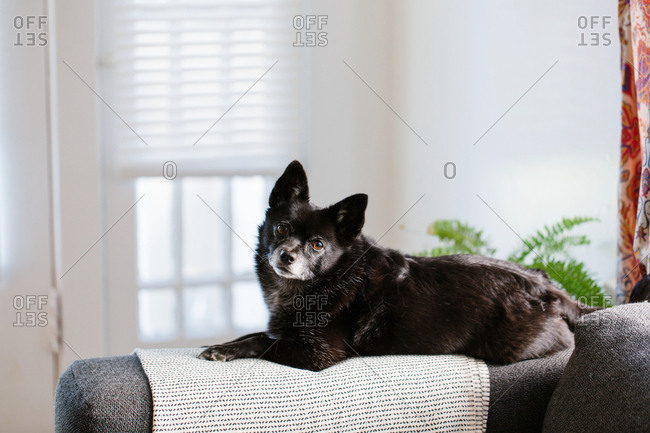 Black dog sitting on arm of sofa