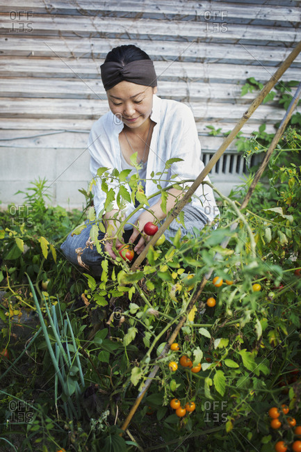 Smiling woman kneeling in garden, picking tomatoes
