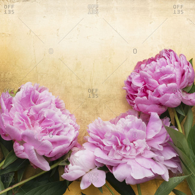 Peony blossoms against golden background