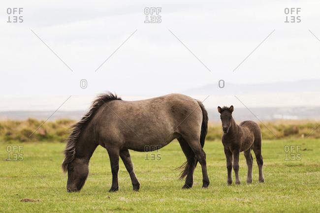 Icelandic horses on grassland, Iceland