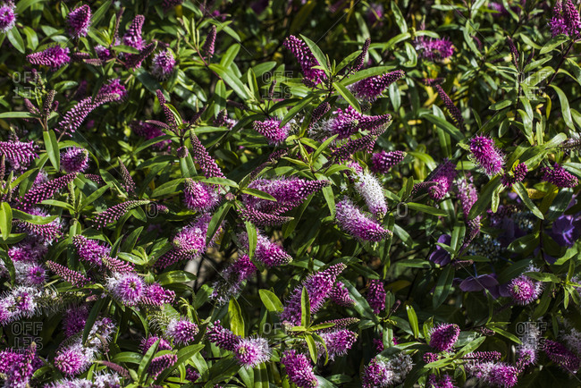 Purple buddleja flowers on bush