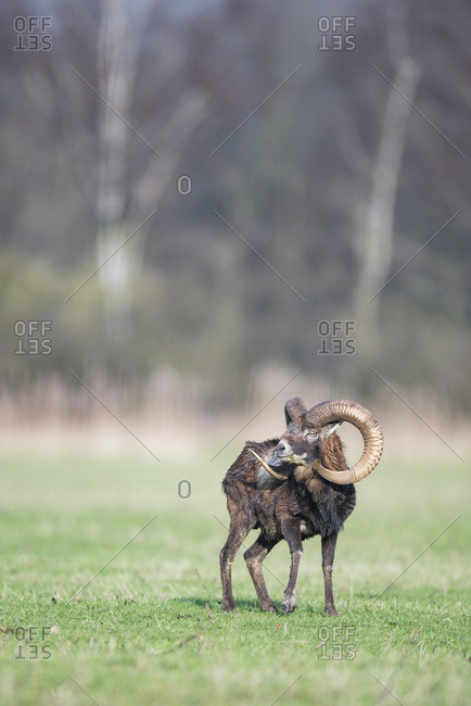 Male mouflon with big horns standing in meadow looking aside.
