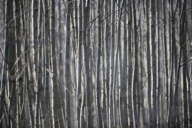 Thin young tree trunks lit by sunlight in winter.