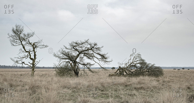 Three bare trees in wide plain with high yellow grass under cloudy sky.
