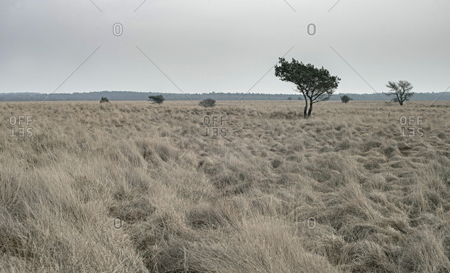 Wide plain with high yellow grass and solitary trees under cloudy sky.