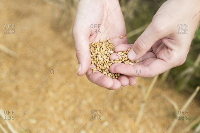 Close-up of farmer's hand holding oats