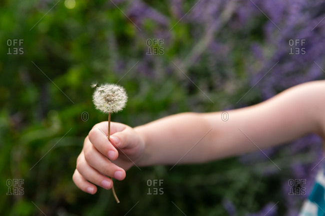 Young girl holding an old dandelion