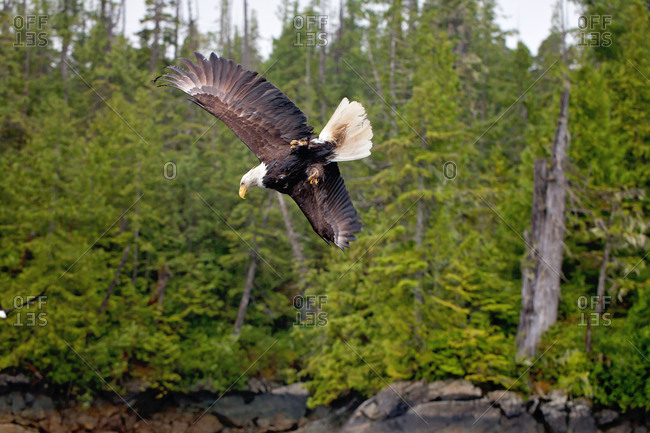 Bald eagle flying in wilderness