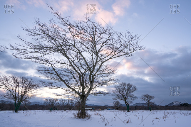 Bare trees in snowy meadow