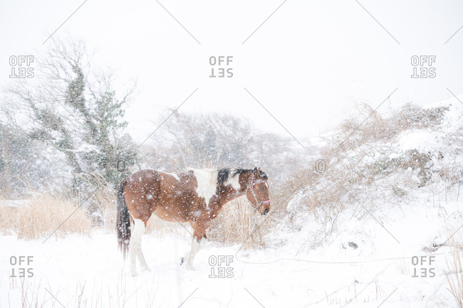 Lone horse in snowstorm