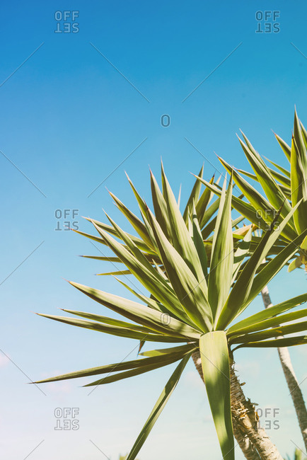 Dreamlike view of yucca plant against blue sky
