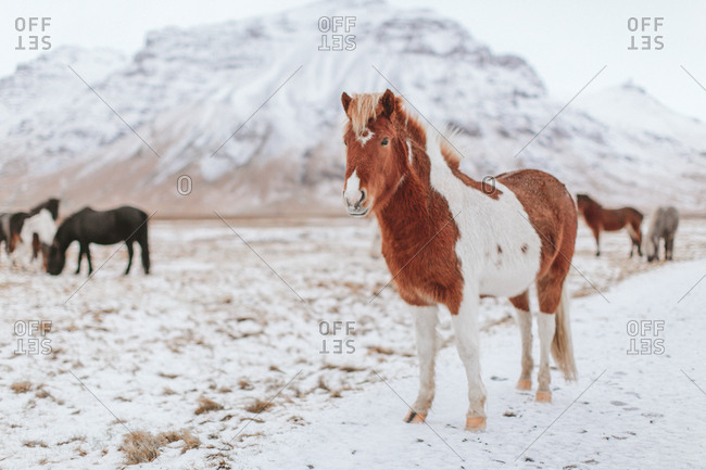 Red haired Icelandic horse standing on snow