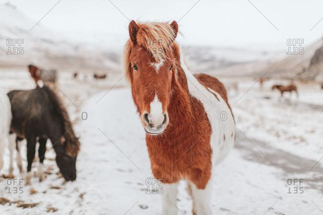 Portrait of an Icelandic horse in winter