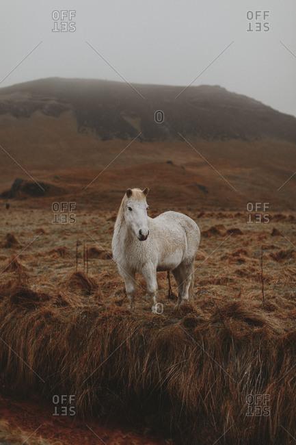 Portrait of white Icelandic horse