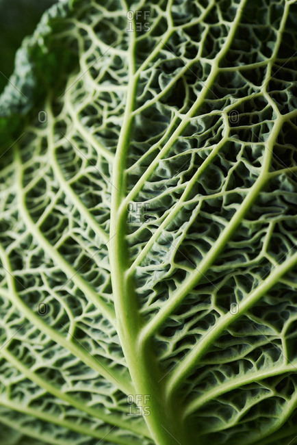 Close-up of a cabbage leaf